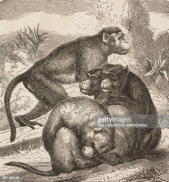 Macaques drawing from The Malay Archipelago 18611862 by Alfred Russell Wallace from Il Giro del mondo Journal of geography travel and costumes Volume...