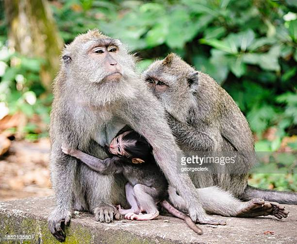 Macaques in Indonesia