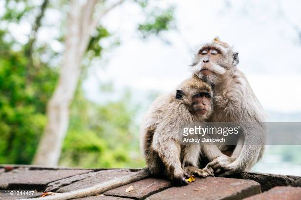 macaques on the north of bali - animal family stock pictures, royalty-free photos & images