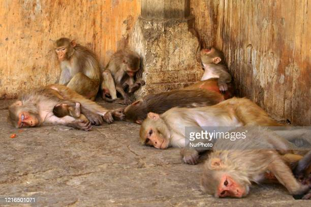 Macaques resting in the shade during a hot summer day, at Galta Ji Temple in Jaipur, Rajasthan,India, May 30, 2020.