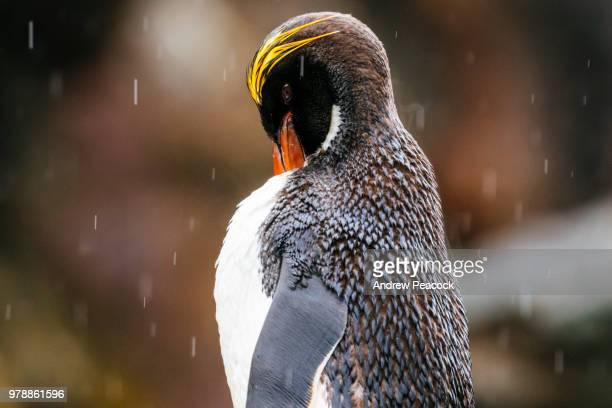 Macaroni penguin (Eudyptes chrysolophus) in the rain at Cooper Bay