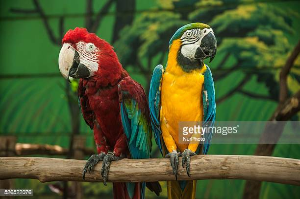 Macaw bird blue and yellow with macaw bird red and green in Indonesian Safari Park Batang Central Java Indonesia on April 28 2016 The macaw habitat...