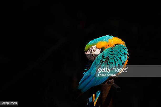 Macaw Bird in Spotlight