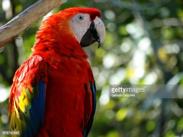 macaw bird symbol of brazil. - scarlet macaw stock pictures, royalty-free photos & images