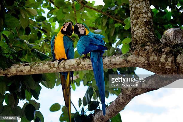 Macaw couple