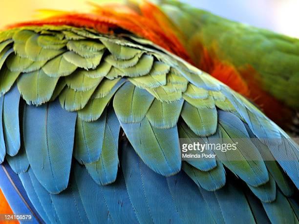 macaw feathers - perroquet photos et images de collection