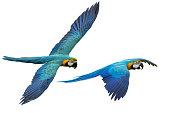 Macaw flying isolated on white background