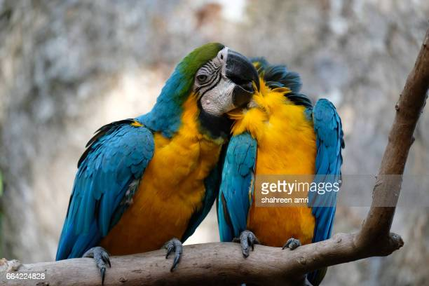 macaw grooming on top of tree branches. - bec photos et images de collection