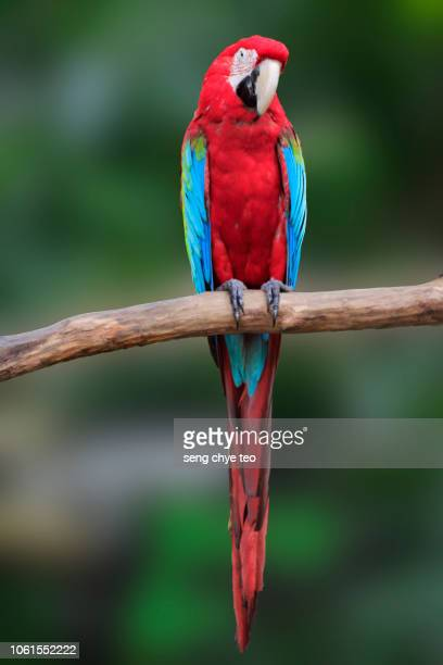macaw on the branch. - parrot stock pictures, royalty-free photos & images