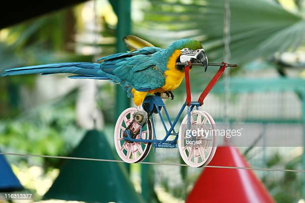 macaw parrot driving bicycle on rope - stunt stock photos and pictures