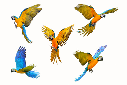 macaw parrot 968960324