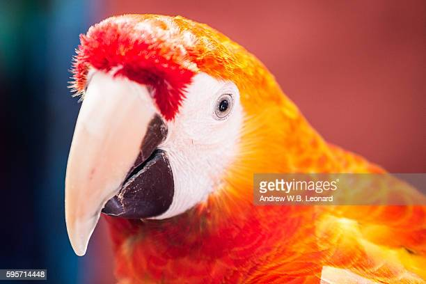 Macaw parrot posing