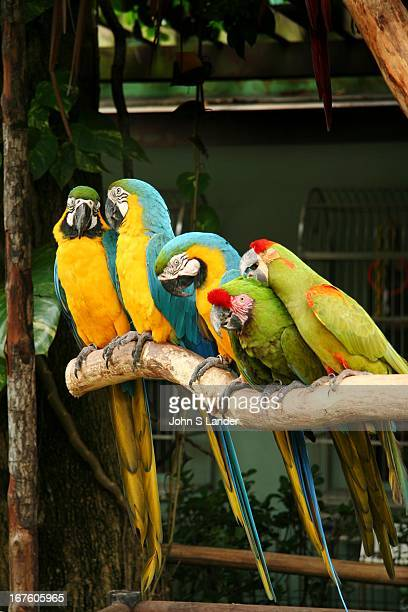 Macaws at Jurong Bird Park - a world famous bird zoo or aviary where there are specimens of bird life from around the world, including a flock of one...