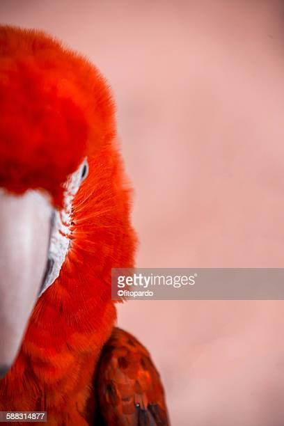 Macaws (Guacamaya)