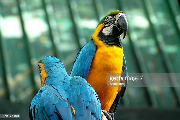 macaws - jurong bird park stock pictures, royalty-free photos & images