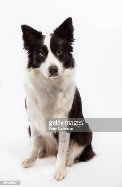 macey - collie stock photos and pictures