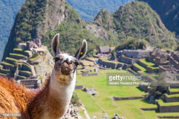 machu picchu pet - lima animal stock pictures, royalty-free photos & images