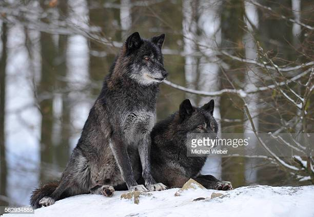mackenzie valley wolf, alaskan tundra wolf or canadian timber wolf -canis lupus occidentalis-, two wolves in the snow - michael wolf stock photos and pictures