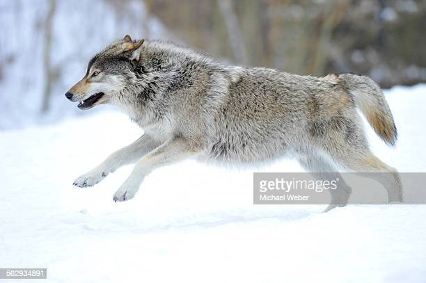 mackenzie valley wolf, alaskan tundra wolf or canadian timber wolf -canis lupus occidentalis-, young wolf jumping in the snow - michael wolf stock photos and pictures