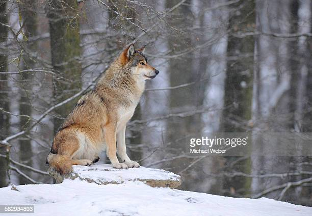 mackenzie valley wolf, alaskan tundra wolf or canadian timber wolf -canis lupus occidentalis- in the snow, leader of the pack - michael wolf stock photos and pictures