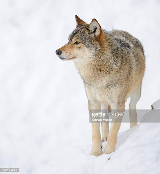 mackenzie valley wolf, alaskan tundra wolf or canadian timber wolf -canis lupus occidentalis- in the snow - carnivora stock photos and pictures