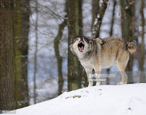 mackenzie valley wolf, alaskan tundra wolf or canadian timber wolf -canis lupus occidentalis- in the snow, leader of the pack, aggressive - michael wolf stock photos and pictures