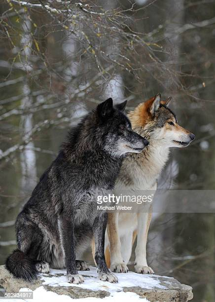 mackenzie valley wolf, alaskan tundra wolf or canadian timber wolf -canis lupus occidentalis-, two wolves in the snow - black wolf stock pictures, royalty-free photos & images