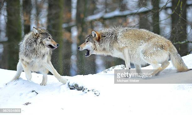 mackenzie wolf, canadian wolf, timber wolf -canis lupus occidentalis- in the snow, leader of the pack, on the right, reprimanding a young wolf - michael wolf stock photos and pictures