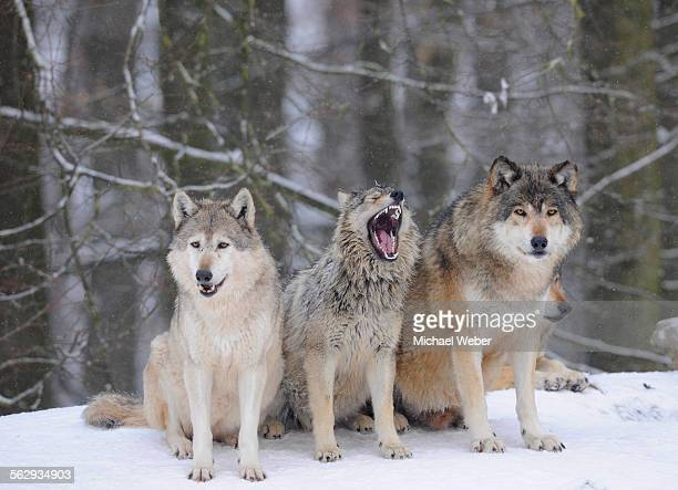 mackenzie wolf, canadian wolf, timber wolf -canis lupus occidentalis-, three wolves in the snow, young in the middle - michael wolf stock photos and pictures