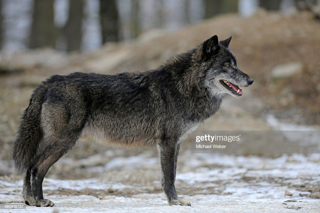 [Image: mackenzie-wolf-canadian-wolf-timber-wolf...d562935737]