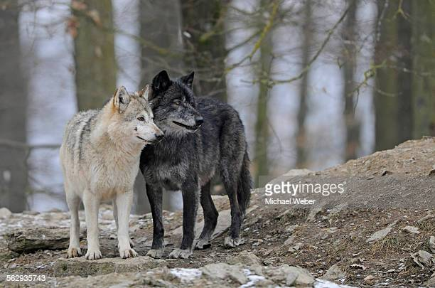 mackenzie wolf, canadian wolf, timber wolf -canis lupus occidentalis- - michael wolf stock photos and pictures