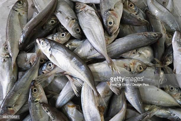 Mackerel At The Fish Market