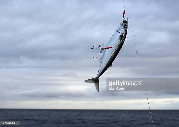 A mackerel is caught on a line from the fishing boat Silver Queen close to the Lizard penisula as they take part in the final Cadgwith Cove...