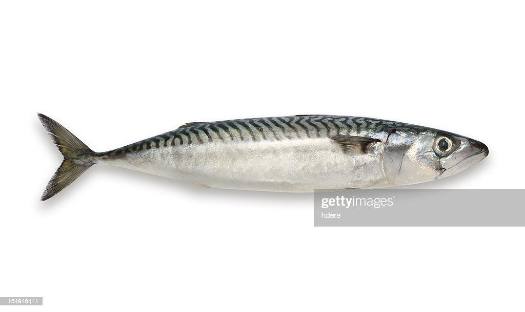Mackerel isolated on white background : Stock Photo