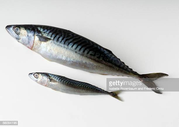 mackerel - mackerel stock pictures, royalty-free photos & images