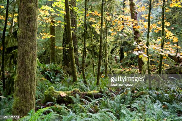 macmillan provincial park cathedral grove vancouver island - ancient stock pictures, royalty-free photos & images