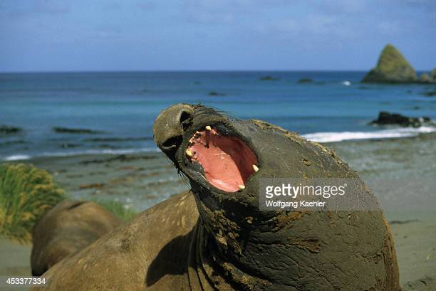 Macquarie Island Elephant Seal On Beach Roaring