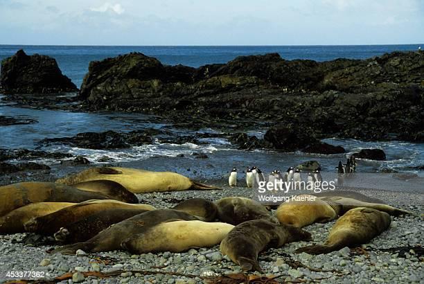 Macquarie Island Elephant Seals And Gentoo Penguins On Beach
