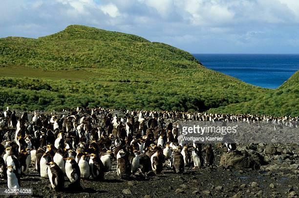 Macquarie Island Royal Penguins Come Ashore To Moult