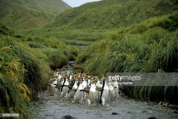 Macquarie Island Royal Penguins Going Up A Creek Tussock Grass