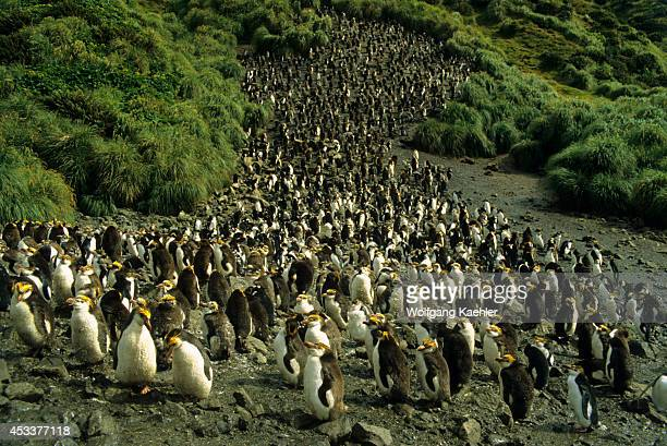 Macquarie Island Royal Penguins Moulting