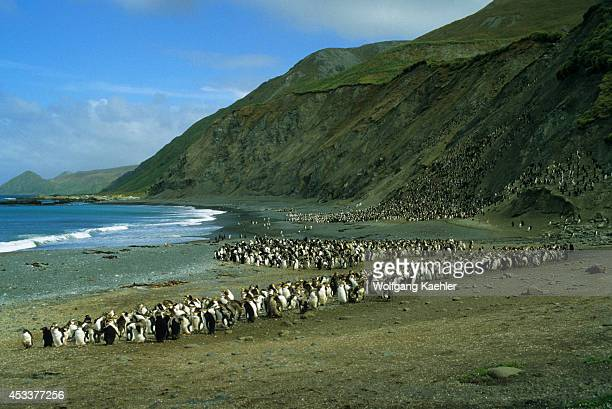 Macquarie Island Royal Penguins On Beach Moulting