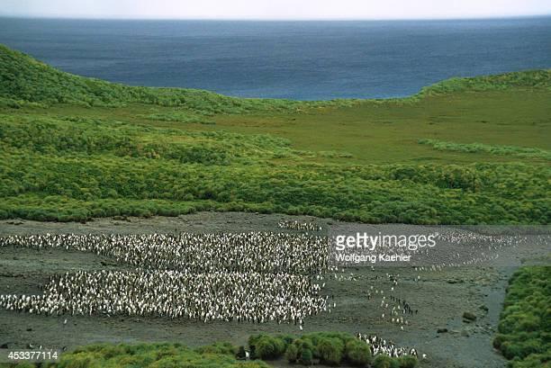 Macquarie Island Royal Penguins Tussock Grass