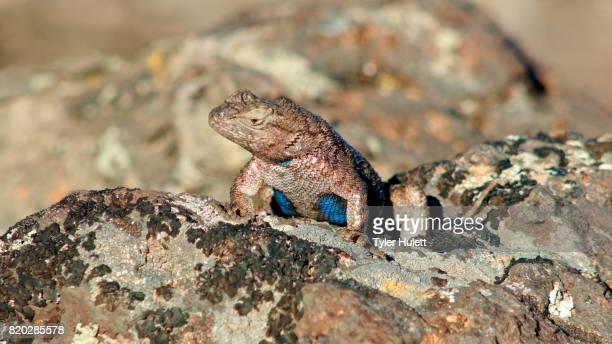 macro blue sagebrush lizard steens mountain near malhuer wildlife refuge 9 - steens mountain stock pictures, royalty-free photos & images