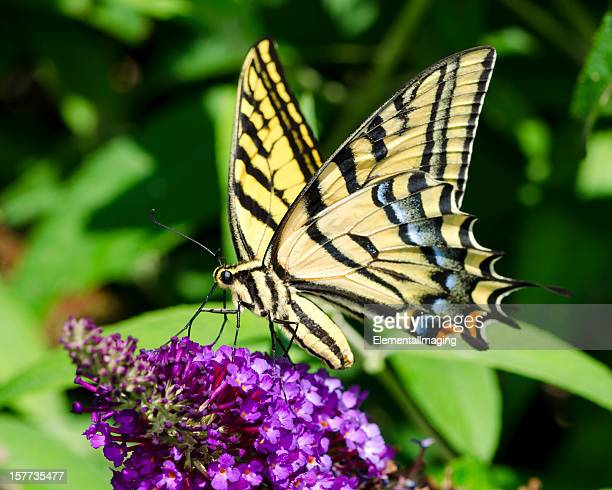 macro butterfly two-tailed swallowtail (papillio multicaudata) on purple flowers - swallowtail butterfly stock pictures, royalty-free photos & images