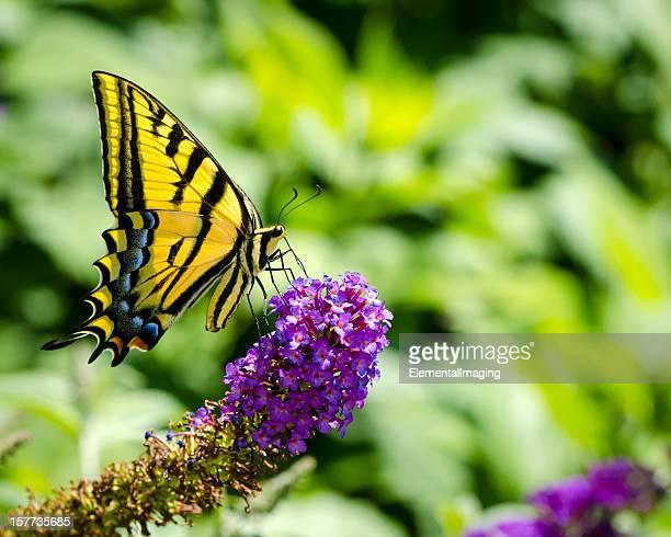macro due-farfalla di coda forcuta di coda (papillio multicaudata) con spazio copia - farfalla a coda di rondine foto e immagini stock
