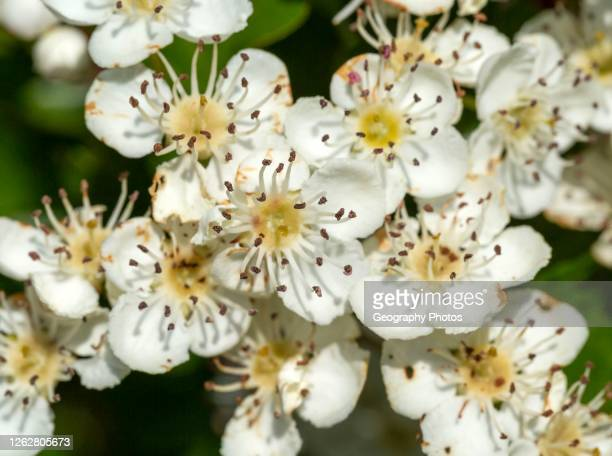Macro close up hawthorn tree Crataegus monogyna flowers.