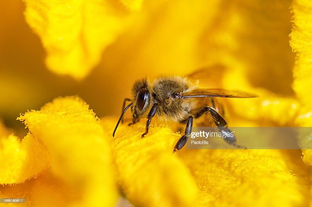 Macro close up of bee on yellow flower : Foto de stock