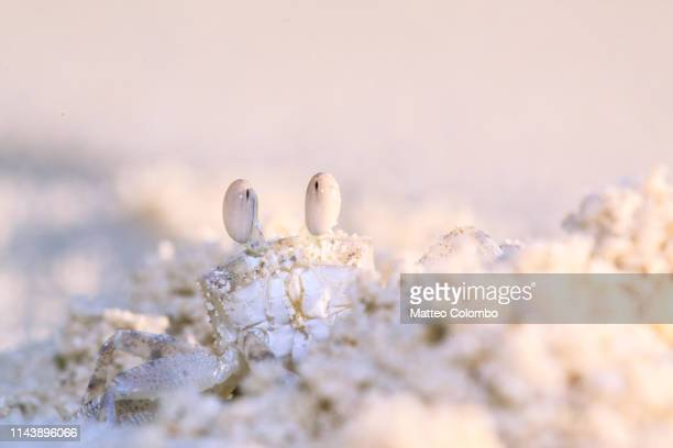 macro close up of ghost crab on tropical beach - crab stock pictures, royalty-free photos & images