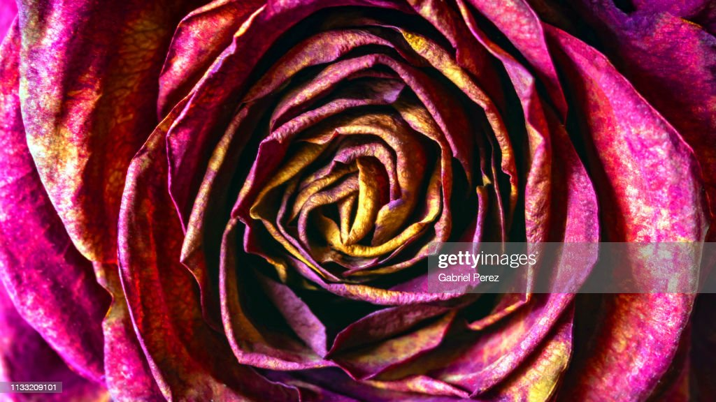 A Macro Closeup Of A Dried Rose Flower High-Res Stock ...
